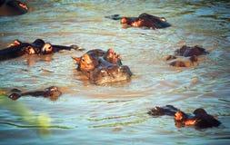 Ippopotamo, gruppo dell'ippopotamo in fiume. Serengeti, Tanzania, Africa Fotografie Stock Libere da Diritti