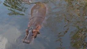 Ippopotamo nel lago thailand archivi video