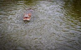 Ippopotamo nell'acqua Fotografia Stock