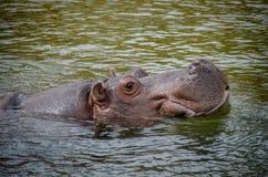 Ippopotamo nell'acqua Immagini Stock
