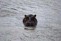 Ippopotamo nello Zimbabwe, parco nazionale di Hwange Hippopotamus fotografie stock