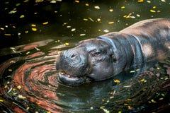 Ippopotamo pigmeo, piccolo ippopotamo Fotografia Stock Libera da Diritti