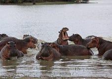 Ippopotamo, riserva di caccia di Selous, Tanzania Immagine Stock