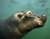 Ippopotamo subacqueo Immagini Stock Libere da Diritti