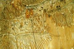 Ips beetles. Tunneling by Ips beetles in maple tree Stock Image