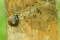 Ips beetles. Tunneling by Ips beetles in maple tree Royalty Free Stock Photo
