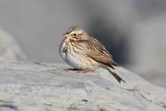 Ipswich Savannah Sparrow in Winter Royalty Free Stock Photo