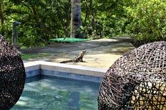 Iquana en patio en Conchal en Costa Rica Foto de archivo