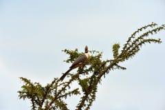 Ir-afastado-pássaro Bare-faced Fotografia de Stock