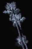 ir-palmträd arkivbild
