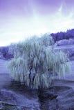 Ir tree Stock Photos