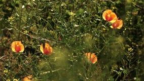 Iraanse papaver het groeien wildernis stock videobeelden