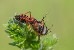 Iracundus de Rhynocoris d'insecte d'assassin dans la République Tchèque photo stock