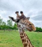 Iraffe头特写镜头动物园动物 一张长颈鹿头和面孔的特写镜头画象与长的脖子在动物园里在安阿伯,密执安美国 库存图片