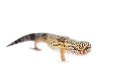 The Iranian fat tailed gecko isolated on white Stock Images