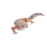 The Iranian fat tailed gecko isolated on white Stock Photo