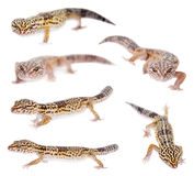 The Iranian fat tailed gecko isolated on white Stock Photography