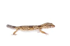 The Iranian fat tailed gecko  on white Stock Photo