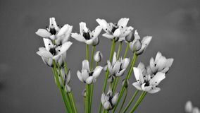 Iranian flowers Stock Photography