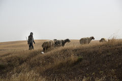 Iraqi sheep herder Stock Images