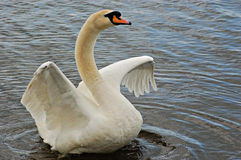 Irate swan(Cygnus Olor) Royalty Free Stock Image