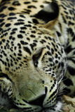 irbis豹子位于的雪 免版税库存照片