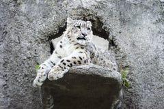 Irbis del leopardo delle nevi Fotografia Stock Libera da Diritti