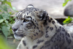 Irbis, snow leopard Royalty Free Stock Image
