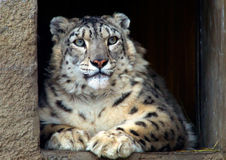 IRBIS or snow leopard Royalty Free Stock Photo