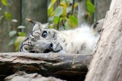 Irbis Snow Leopard Uncia Uncia Lying Resting Looking Mother Cute Stock Photo royalty free stock photography