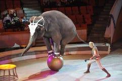 Ircus do  de Ñ dos elefantes que custam a rotação das aros em dois pés imagem de stock royalty free