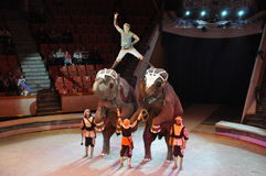 сircus of elephants costing rotation of hoops on two feet. Training of an elephant Royalty Free Stock Photography