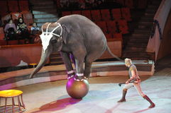 сircus of elephants costing rotation of hoops on two feet. Training of an elephant Royalty Free Stock Image