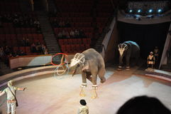 сircus of elephants costing rotation of hoops on two feet. Training of an elephant Royalty Free Stock Images
