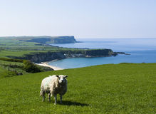 Ireland. Sheep on Northern Ireland coast Royalty Free Stock Photos