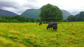 Ireland park. Killarney national park green grass mountains nature family cows animals field together trees forest growth horizon clouds cloud relaxing landscape Royalty Free Stock Photos
