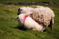 Ireland sheep with lamb Stock Images