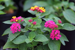 Irene Lantana. A close up view of Irene lantana in full bloom with purple and yellow flowers Royalty Free Stock Image