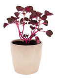 Iresine herbstii pink plant potted over white background Royalty Free Stock Image