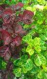 Iresine Herbstii plant. Iresine Herbstii Aureoreticulata plant. Fodele. Crete. Greece Stock Photos