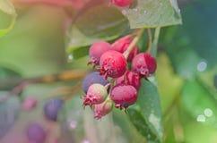 Irg jagody na gałąź obrazy stock