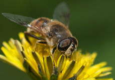 Irgendeine Biene Stockbild