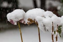 Irgendeine getrocknete Blüte mit einem Hut des Schnees Lizenzfreies Stockbild