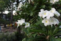 Irgendeine weiße Blume im Garten Stockbilder