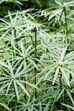 Iria de Cyperus Photos stock
