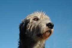 Iriah wolfhoun twarzy zbliżenie Obraz Royalty Free