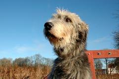 Iriah wolfhouns twarzy zbliżenie Fotografia Royalty Free