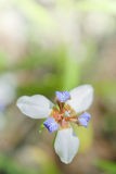 Iridaceae flower Royalty Free Stock Images