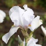 Iride bianca del giardino Fotografia Stock Libera da Diritti