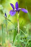 Iride blu Immagini Stock